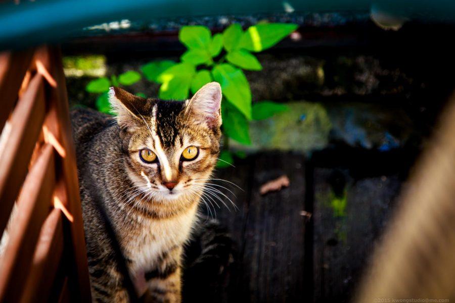The Underlooked Feline Pandemic